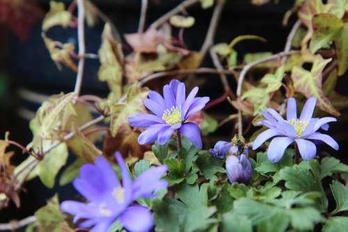 Anemone Flowering Flower Spring