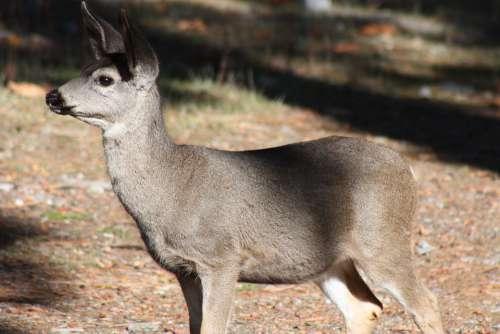 Animal Deer Yosemite California Wildlife Outdoors