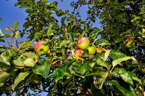 Apple Tree Nature Healthy Apple Tree Fruit Branch