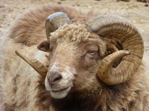 Aries Animal Nature Horns Animal World Wool Bock