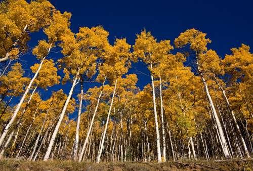 Aspens Santa Fe Fall Autumn Foliage Trees Golden