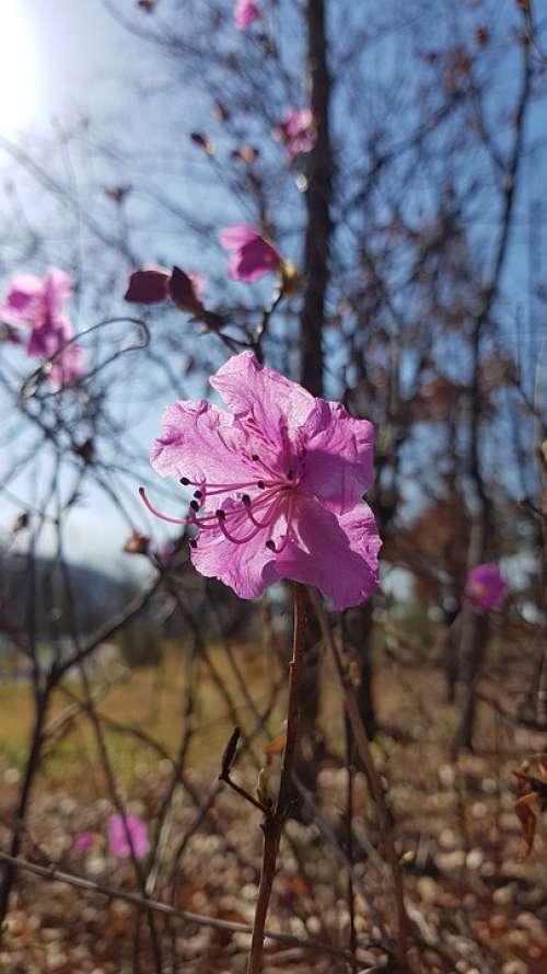 Azalea Spring Flowers Azalea Flowers Pink Flower