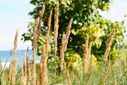 Beach Grass Nature