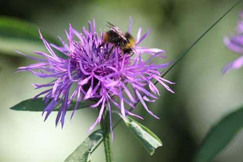 Bee Flower Pink Nature Pollen Pollination Honey