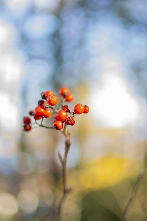Berries Bokeh Nature Fruit