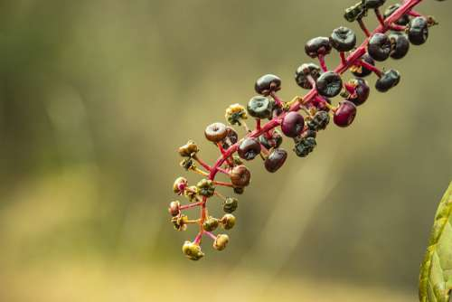 Berries Caster Bean Burgundy Wild Nature Poison