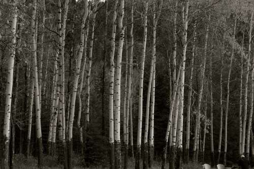 Birch White Nature Trees Bark Forest Wood Trunk