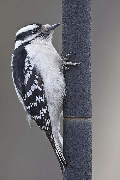 Bird Woodpecker Pole Hanging