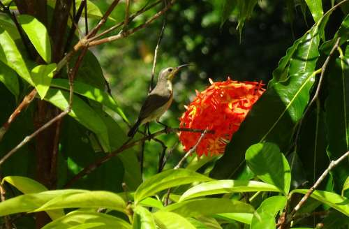 Bird Olive-Backed Sunbird Cinnyris Jugularis