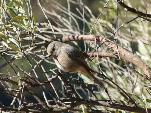 Bird Tree Olive Smoked Cotxa Smoked Black Redstart