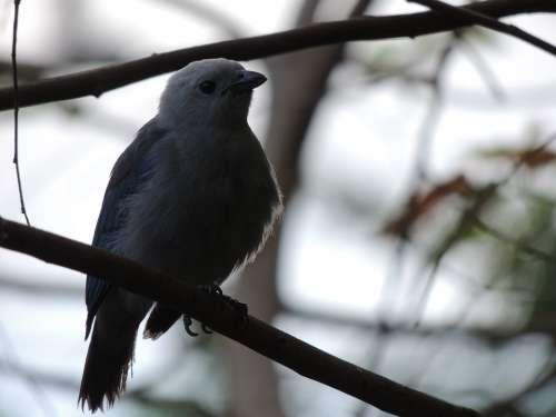 Bird Blue Ave Plumage Birds Fauna Wings Nature