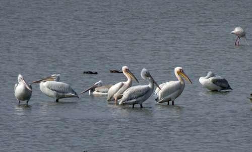 Bird Great White Pelican Pelecanus Onocrotalus