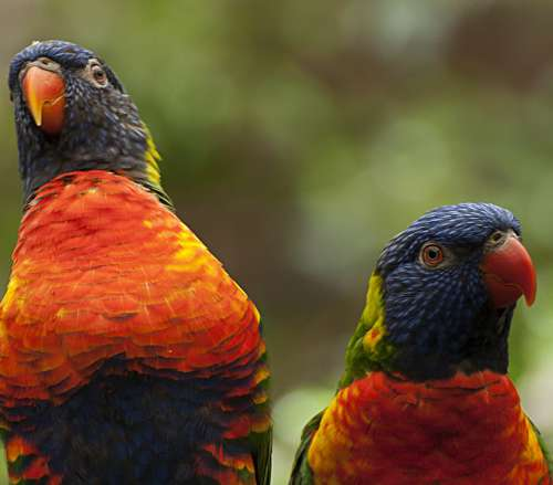 Birds Colorful Parrot Animal World Plumage Couple