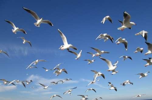 Birds Sky Gulls Swarm