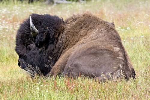 Bison Buffalo Lying Down Nature Wild Mammal
