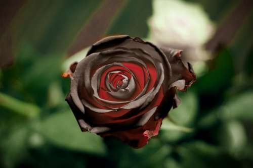 Black Rose Flower Red Decoration Beauty Blossom