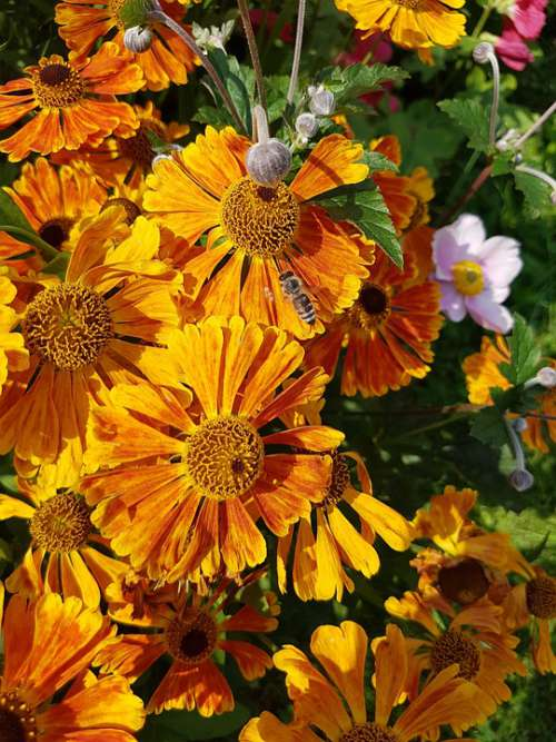Blanket Gaillardia Summer Sun Bright Orange Color