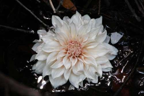 Blossom Bloom Lotus Flowers Nature