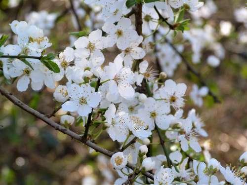 Blossom White Spring Flower Plant Nature