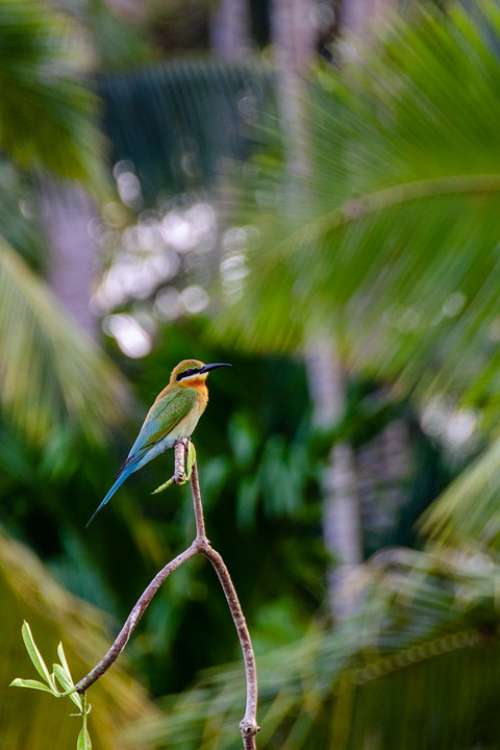Blue-Tailed Bee Eater Bee Eater Bird Colorful