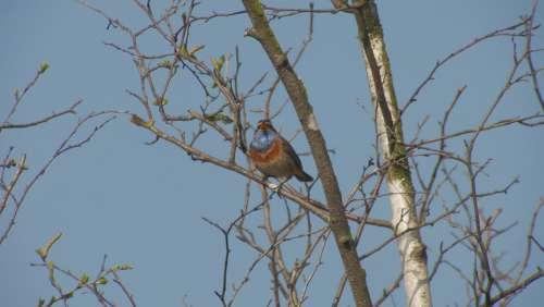 Bluethroat Bird Songbird Moor Rarely Birds