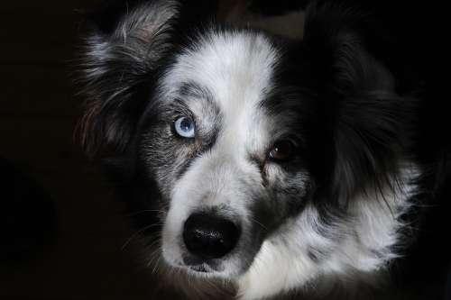 Border Collie Dog Pet Portrait Adorable Doggy