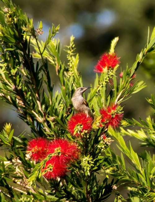 Brown Honeyeater Lichmera Indistincta Bird Wild