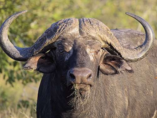 Buffalo Head Horns Massive Beast Dangerous Africa