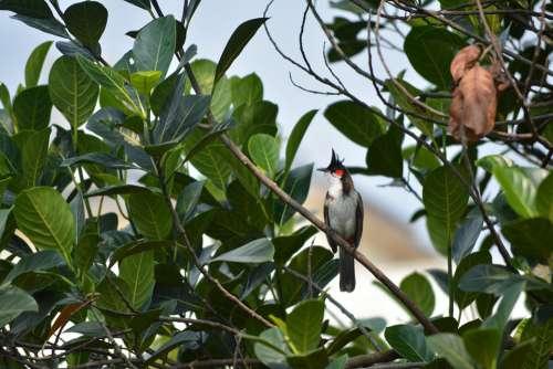 Bulbul Red Whiskered Goa Morning Bird India