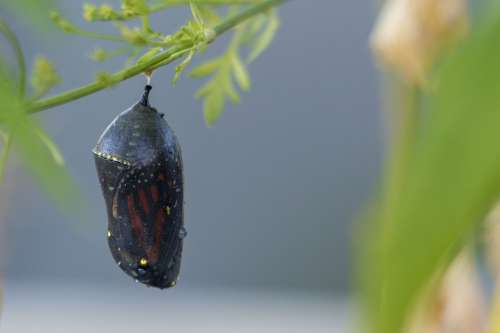 Butterfly Nature Insect Cocoon Monarch Wings