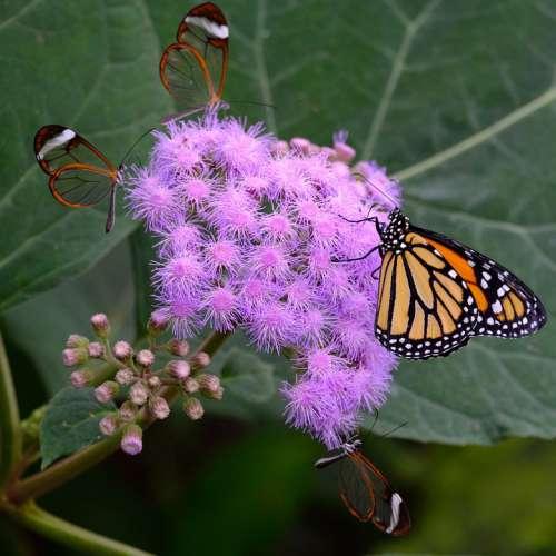 Butterfly Monarch Butterflies Glass Wing Butterfly