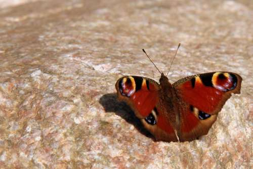 Butterfly Butterflies Peacock Nature Insect Wing