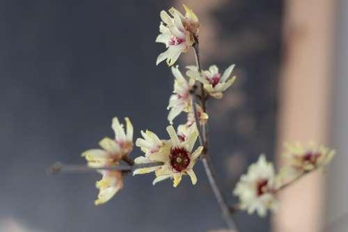 Calicanthus Blossom Bloom Jasmin Fragrance Winter