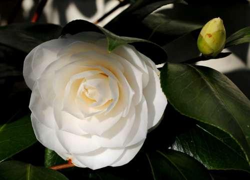Camellia White Flower Winterbloeier Green Garden