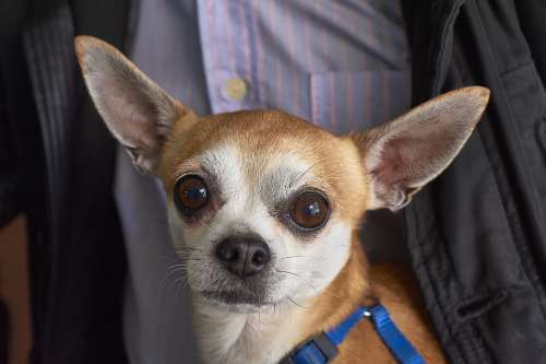 Can Dog Pet Canine Eyes Chiguagua