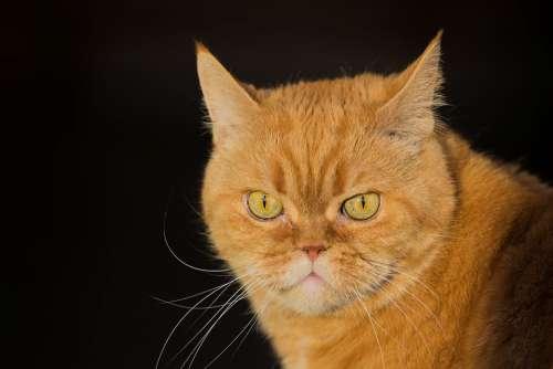 Cat Red Pet Domestic Cat Cat'S Eyes Kitten