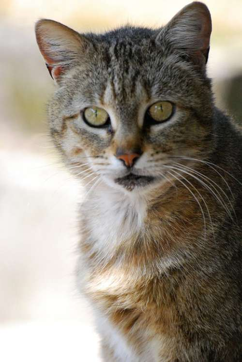 Cat Animal Pet Head Animal Portrait Kitten