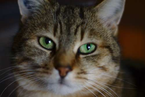 Cat Tabby Eyes Animals Mammals Fur Green Feline