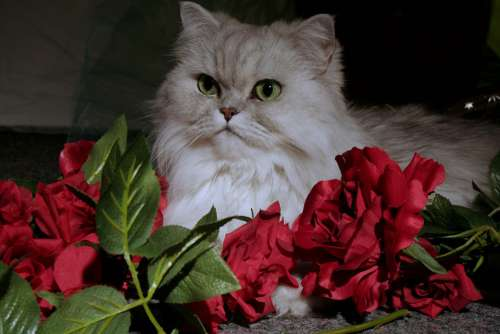 Cat Persians Pet Animal Portrait Persian Cat