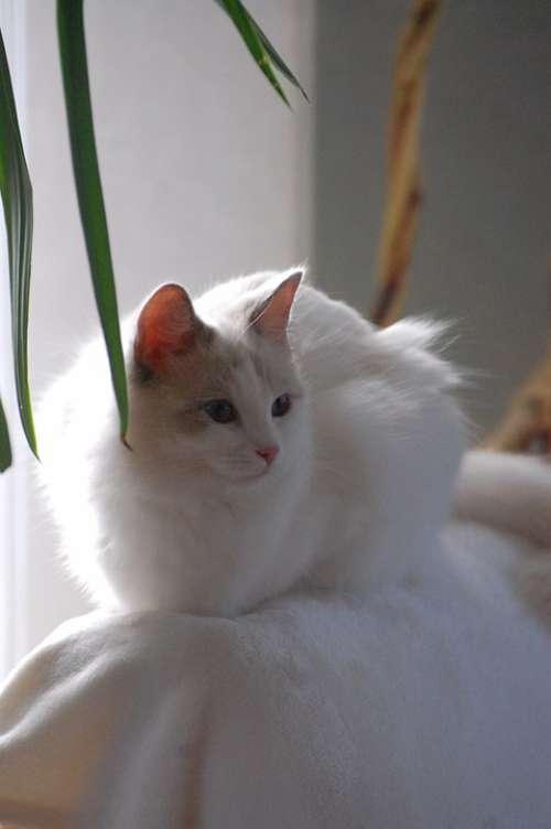Cat Animals Fur Ragdoll White