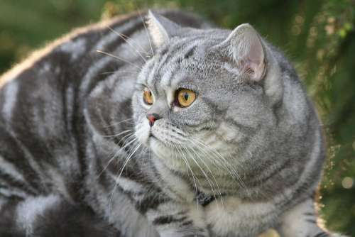 Cat Domestic Cat Cat'S Eyes Cat Face Eyes View