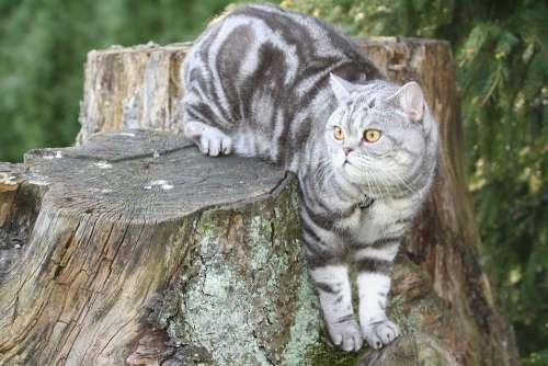 Cat Silver Domestic Cat Cat Face Cat'S Eyes Fur