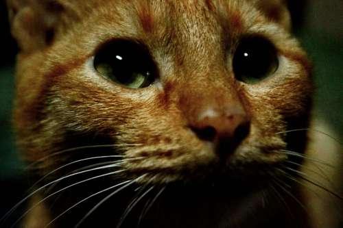 Cat Kitten Cat'S Eyes Eyes Close Up Orange Cat