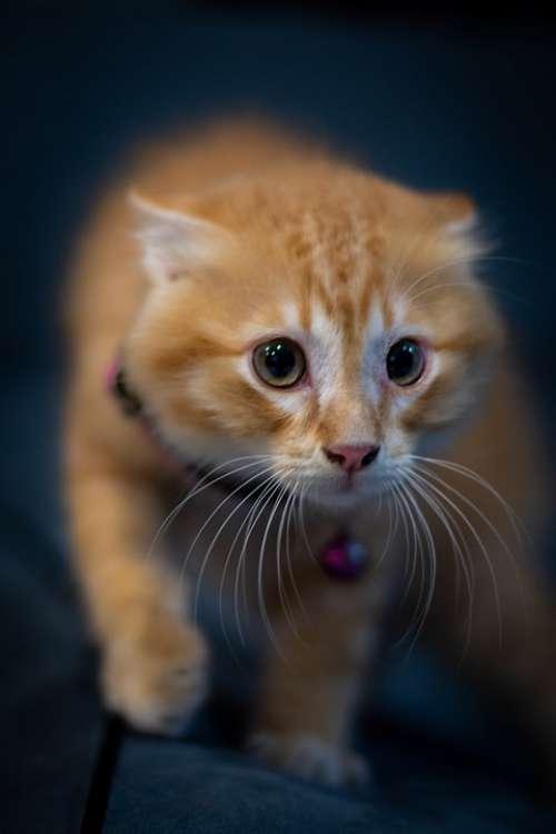 Cat Feline Animal Pet Kitten Portrait Tiger Cute