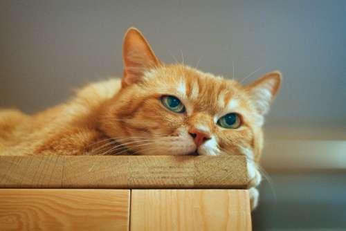 Cat Red Cat Red-Headed Cat Kitten Cute Fur Dream