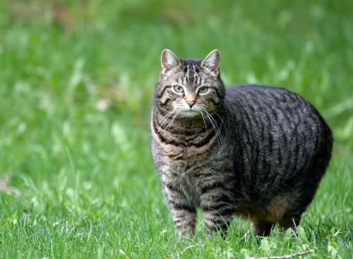 Cat Domestic Tabby Pet