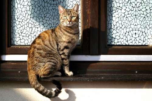 Cat Pride Animal Predator Amurtiger Pet Window
