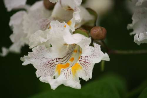 Catalpa Flowering Trees Landscape Yards Shade
