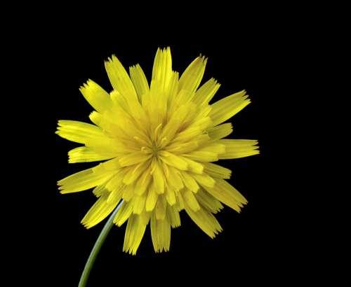 Cat'S-Ear Wildflower Botany Plant Flora Catsear