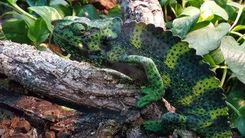 Chameleon Zoo Reptiles Animal Color